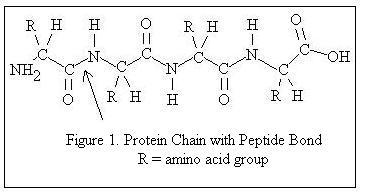 Proteinler peptid ba  lar   ile ba  lanan amino asit molek  252 lleridir Protein Molecular Structure